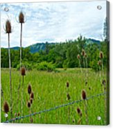 Wild Teasel In Nez Perce National Historical Park-id- Acrylic Print