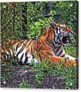 Wild Tiger Acrylic Print