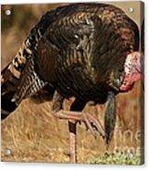 Wild Turkey Acrylic Print by Adam Jewell