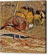 Wild Turkey Acrylic Print by Al Powell Photography USA