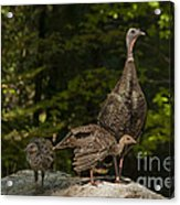 Wild Turkey And Chicks Acrylic Print