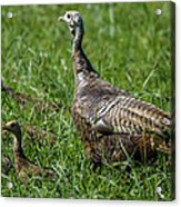 Wild Turkey And Poults Acrylic Print