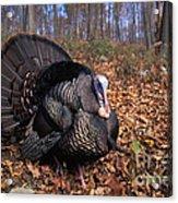 Wild Turkey Displaying Acrylic Print