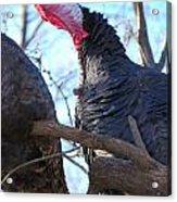 Wild Turkey Gobbling Acrylic Print