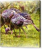 Wild Turkey Hens Acrylic Print by Barry Jones