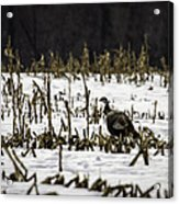 Wild Turkey In The Corn Acrylic Print by Thomas Young
