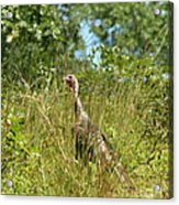 Wild Turkey In The Sun Acrylic Print