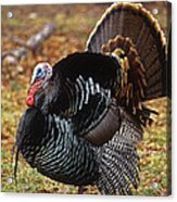 Wild Turkey Male Displaying Long Island Acrylic Print