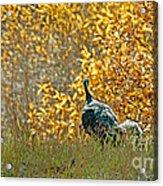 Wild Turkeys And Fall Colors Acrylic Print