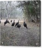 Wild Turkeys II Acrylic Print