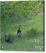 Wild Turkeys In Grass  In Kansas Acrylic Print by Robert D  Brozek