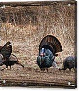 Wild Turkeys Acrylic Print by Lori Deiter