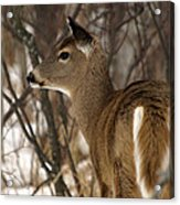 Wild White-tailed Deer Acrylic Print