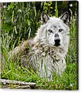 Wild Wolf Acrylic Print