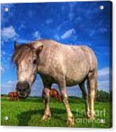 Wild Young Horse On The Field Acrylic Print