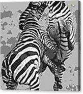 Wild Zebras Acrylic Print