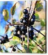 Wildberry Plant Acrylic Print