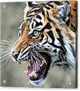 Wildcat II Acrylic Print