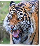 Wildcat IIi Acrylic Print