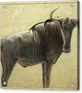 Wildebeest Acrylic Print by James W Johnson