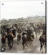 Wildebeest Migration  Acrylic Print