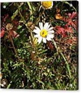 Wildflower @ Kit Carson Acrylic Print