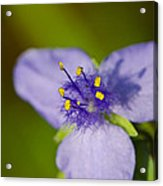Wildflower 1 - Botanical Photography By Sharon Cummings Acrylic Print