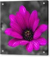 Wildflower 1 Acrylic Print