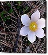 Wildflower Among Pine Needles Acrylic Print