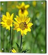 Wildflower Bee Acrylic Print