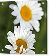 Wildflower Named Oxeye Daisy Acrylic Print
