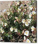 Wildflowers - Desert Primrose Acrylic Print