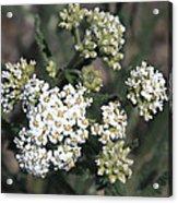 Wildflowers - White Yarrow Acrylic Print