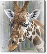 Wildlife Giraffe  Acrylic Print