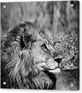 Wildlife Lion Acrylic Print