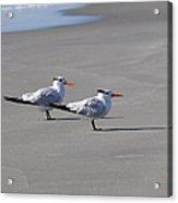 Wildwood - Royal Terns Acrylic Print