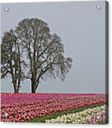 Willamette Valley Tulips Acrylic Print