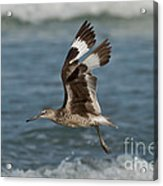 Willet In Flight Showing Wing Molt Acrylic Print