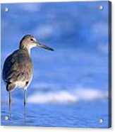 Willet In The Water Acrylic Print