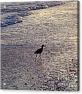 Willet In The Waves Acrylic Print