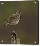 Willet On A Post Acrylic Print