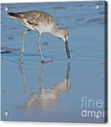 Willet Reflection Acrylic Print