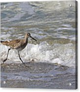 Willet Running Through Surf Acrylic Print