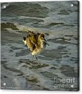 Willet Washing 1 Acrylic Print
