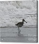 Willet With A Catch Acrylic Print