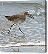 Willet With Mole Crab Acrylic Print