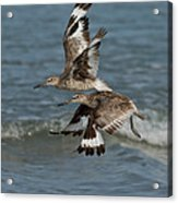 Willets In Flight Showing Molt Acrylic Print