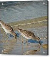 Willets Acrylic Print
