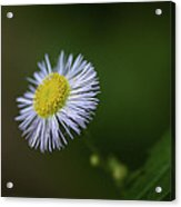 Willow Aster Acrylic Print