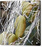 Willow Herb Seed Pod, Sem Acrylic Print